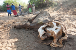 Elephants dead from poaching